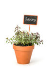 Savory in a clay pot with a label Stock Photos