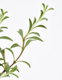 Savory Plant Leaves Fresh Royalty Free Stock Photo