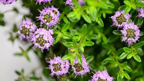 Savory on a turn table. Savory with flower on a turn table stock video footage