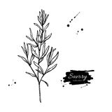 Savory vector hand drawn illustration. Isolated spice object. Royalty Free Stock Photography