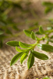 Savoureux vert organique cru Images stock