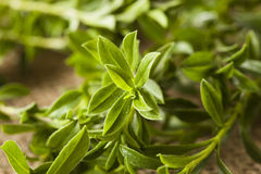 Savoureux vert organique cru Photos stock