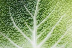 savoy листьев капусты Стоковое Изображение
