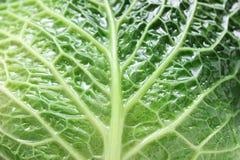 savoy листьев капусты Стоковое Изображение RF