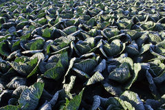 Savoy cabbage Royalty Free Stock Images