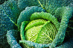 Savoy cabbage Royalty Free Stock Photography