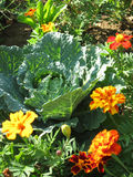 Savoy cabbage. And flowers in vegetable garden Stock Images