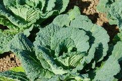 Savoy cabbage Royalty Free Stock Photo