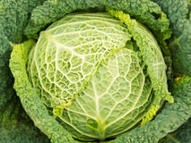 Savoy Cabbage. Frame filling image of Savoy Cabbage, close-up Stock Images