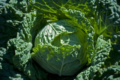 Savoy cabbage Stock Image