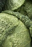 Savoy Cabbage Close-up Royalty Free Stock Image