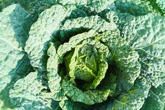 Savoy cabbage with crystal water drops grows in garden royalty free stock image