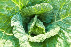 Savoy cabbage with crystal water drops grows in garden stock photos