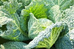 Savoy cabbage with crystal water drops grows in garden royalty free stock photos