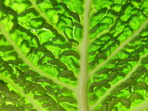 Savoy cabbage detail. Detail of savoy cabbage leaf with leaf veins in back-light Stock Photography