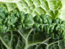 Savoy Cabbage Detail. Intricate texture and color variation of savoy cabbage Royalty Free Stock Photo