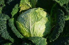 Savoy Cabbage Royalty Free Stock Image