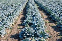 Savoy cabbage field Stock Photos