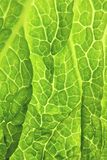 Savoy cabbage fresh green leaf. Savoy cabbage green leaf - close-up Royalty Free Stock Photo
