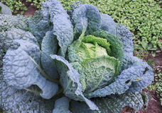 Savoy cabbage in the garden Royalty Free Stock Images