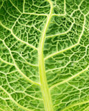 Savoy cabbage leaf as a texture Stock Photo