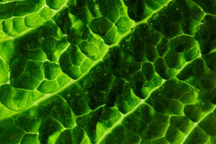 Savoy cabbage leaf Royalty Free Stock Image