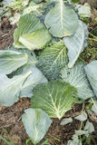 Savoy Cabbage Leaves Royalty Free Stock Images