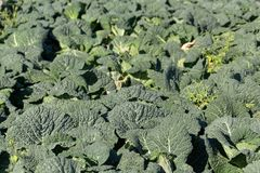 Savoy cabbage plants in a field. Royalty Free Stock Photography