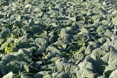 Savoy cabbage plants in a field. Royalty Free Stock Photo
