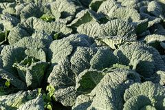 Savoy cabbage plants in a field. Stock Photography