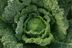 Savoy cabbage after rain Royalty Free Stock Images