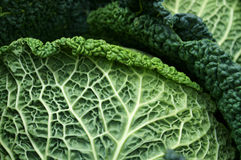 Savoy cabbage. Stock Photo