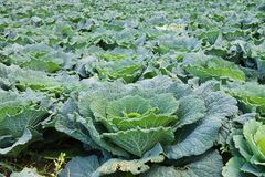 Savoy cabbage Stock Images