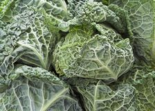 Savoy Cabbages Stock Photo