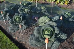 Savoy cabbages royalty free stock photo