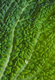 Savoy leaf Stock Photo