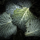 Savoy Cabbage Leaves Royalty Free Stock Photography
