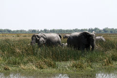 Grazing Elephants Royalty Free Stock Photography