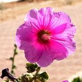 Savyon Bristly hollyhock  2010 Royalty Free Stock Image