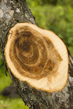 Saw cut tree Royalty Free Stock Photography