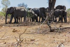 Elephant herd huddled together royalty free stock images