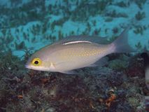 Free Saw-jawed Monocle Bream Royalty Free Stock Photos - 158370928