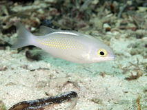 Saw-jawed monocle bream Royalty Free Stock Image