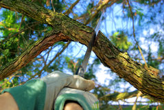 Saw off the branch. Gardening in spring, saw off the branch Royalty Free Stock Images