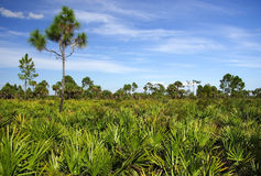 Saw Palmetto Stock Images