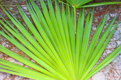 Saw Palmetto Background. The frond of a saw palmetto (Serenoa repens) in central Florida Royalty Free Stock Image
