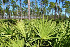 Saw Palmetto and Pine Flatwoods. Saw Palmetto grows thick in the pine flatwoods of central Florida on a sunny day Stock Photography