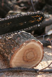 Saw and sawdust. A sawdust around the saw and a tree Stock Photo
