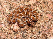 Saw scaled pit viper Royalty Free Stock Images