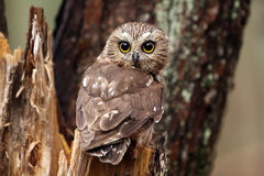 Saw Whet Owl Stock Images